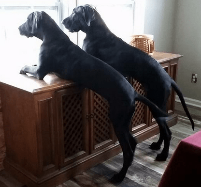 2 Dogs Looking Out Window