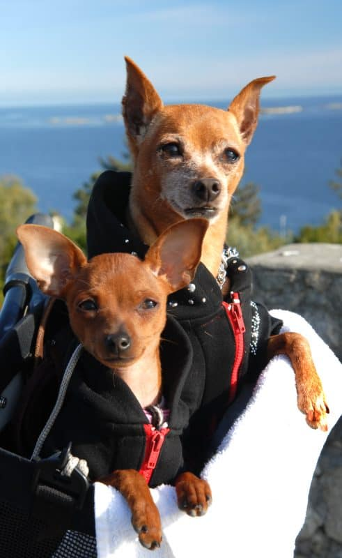 ChihuahuasWithJackets