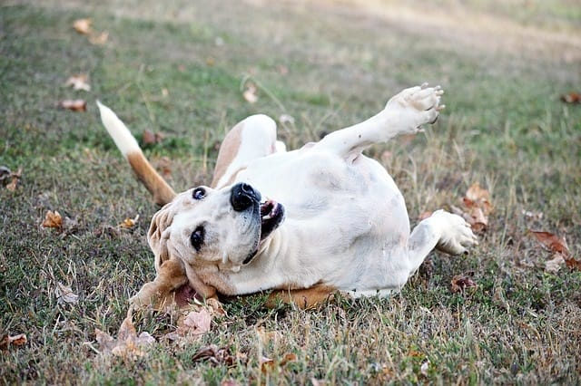 Basset Rolling In Grass
