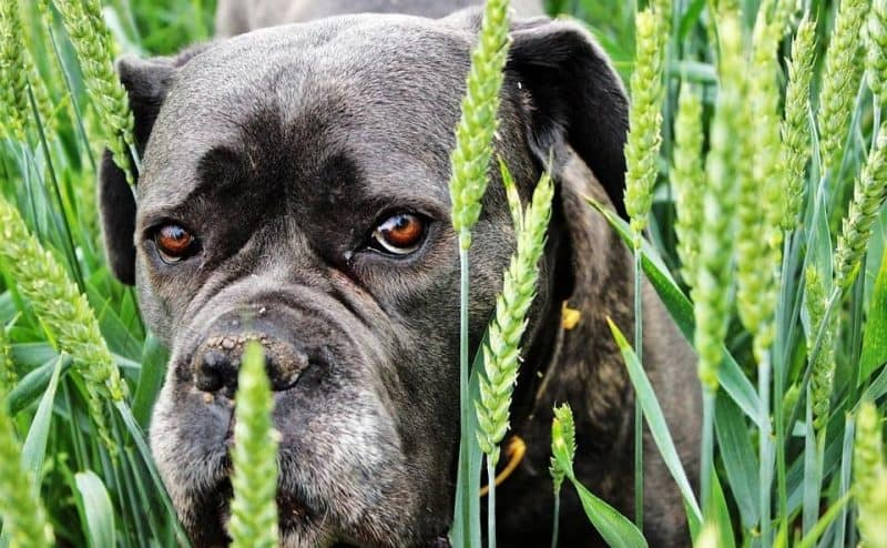 Bulldog in Grass