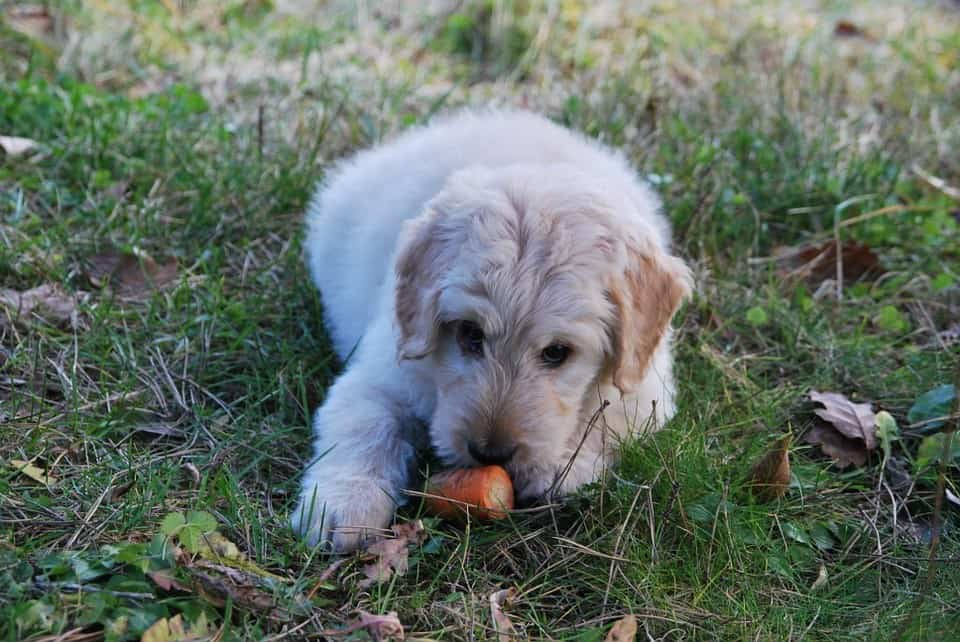 Puppy Eating Carrot