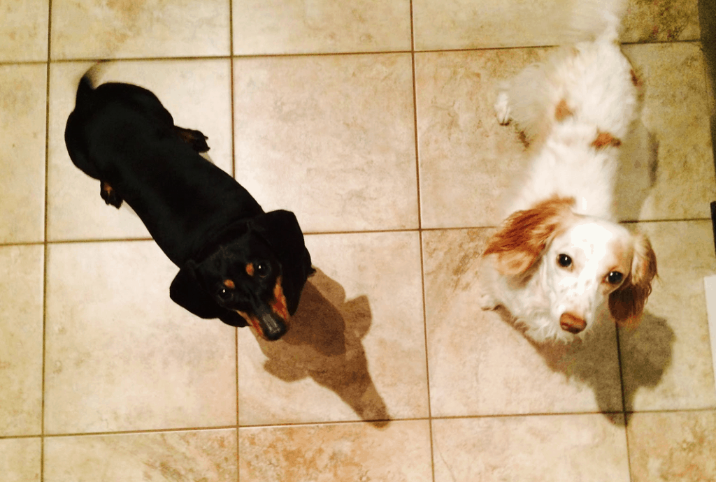 Dachsunds Look Up