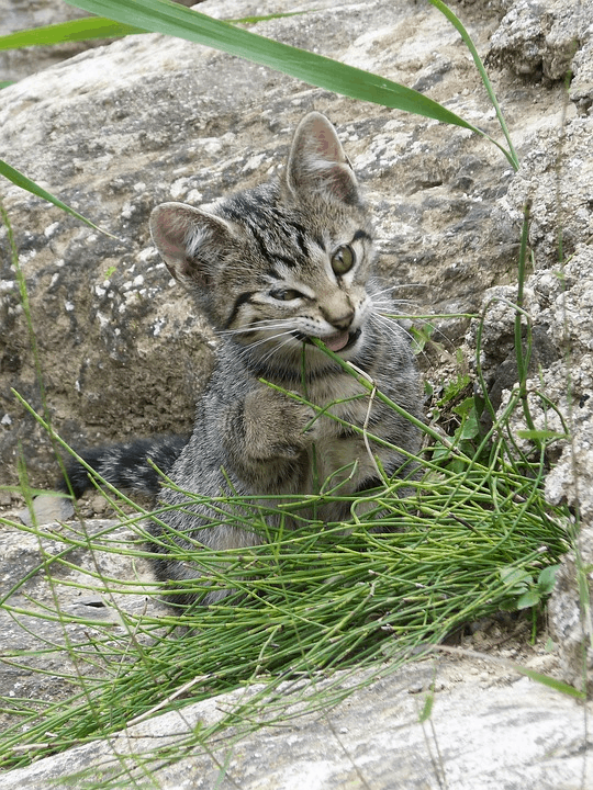 Kitten Eating Grass