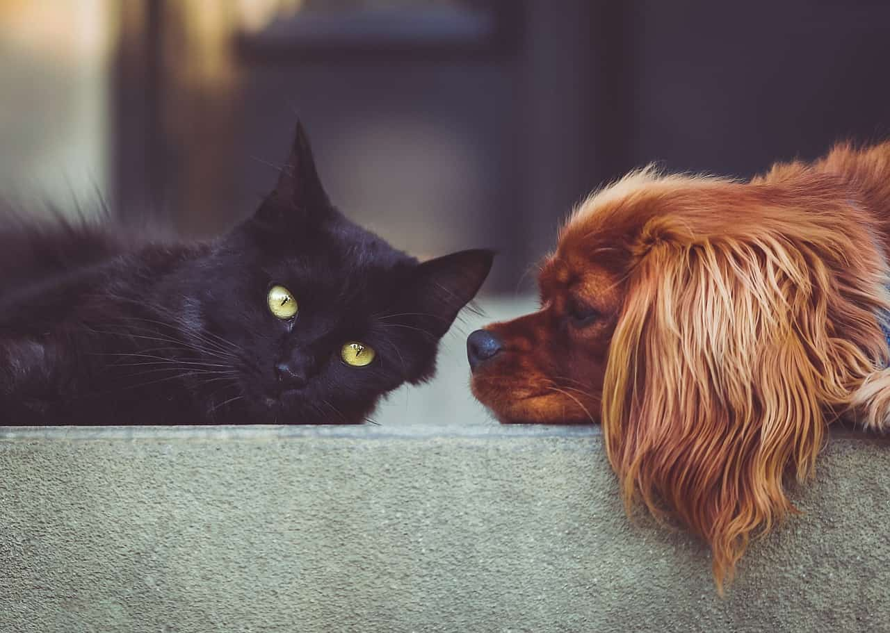 Spaniel and a Black Cat