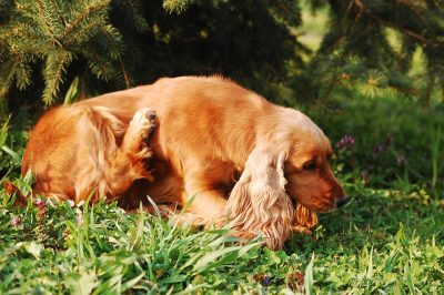 Dog Scratching In Grass