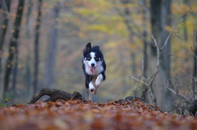 Dog Running Through the Leaves