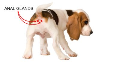 Beagle anal glands diagram