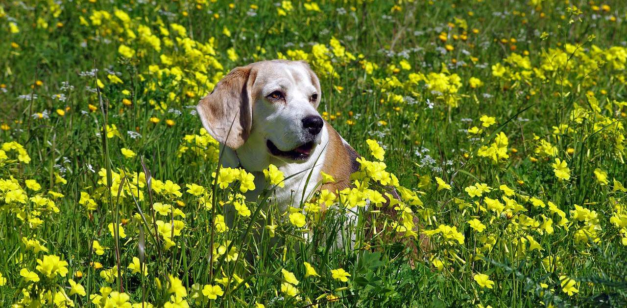 Beagle and Flowers
