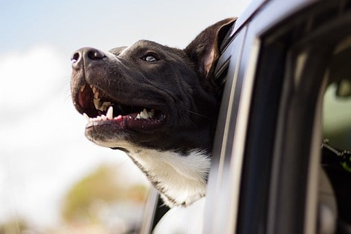 Dog hanging head out of window