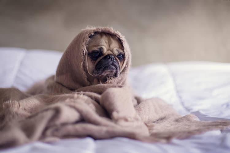 Pug covered with blanket 1